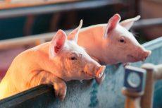 vitale varkenshouderij