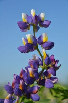 Andes Lupine